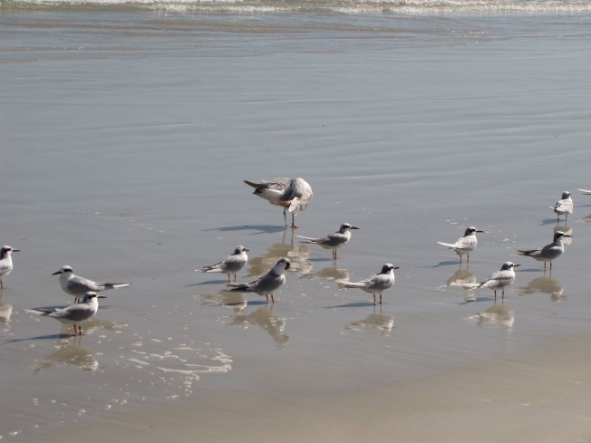 Comon and Forster's Terns