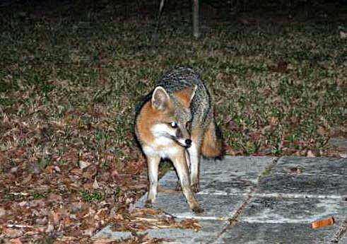Gray Fox B